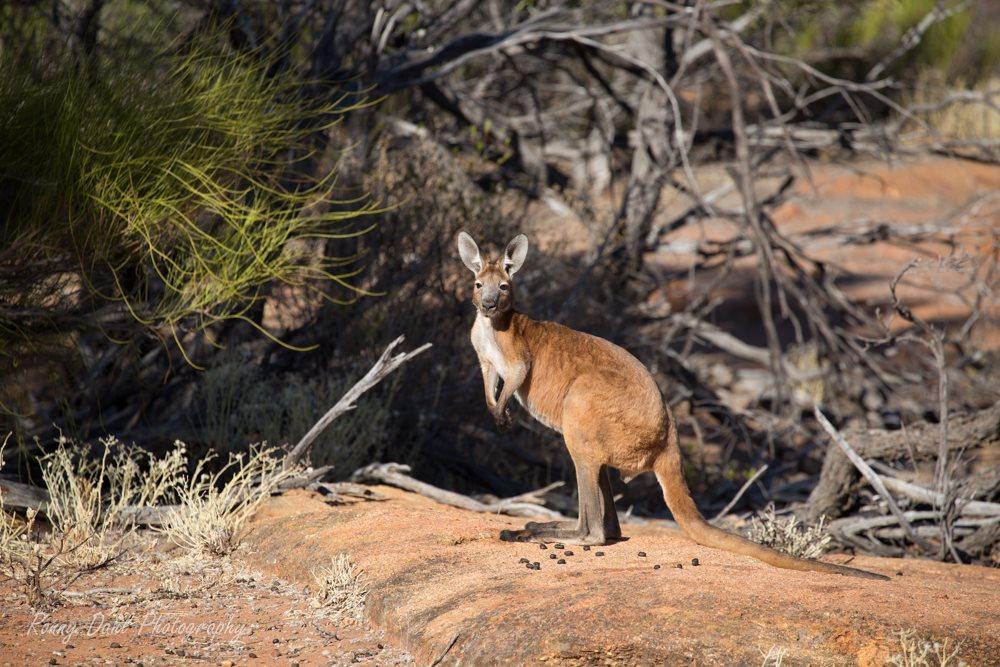Outback Kangaroo, Western Australia.