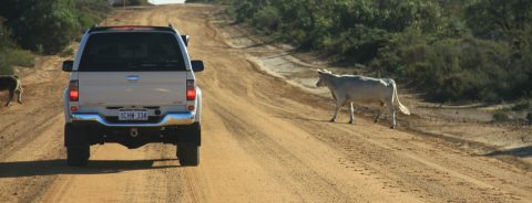 Stockyard Gully Road Cattle