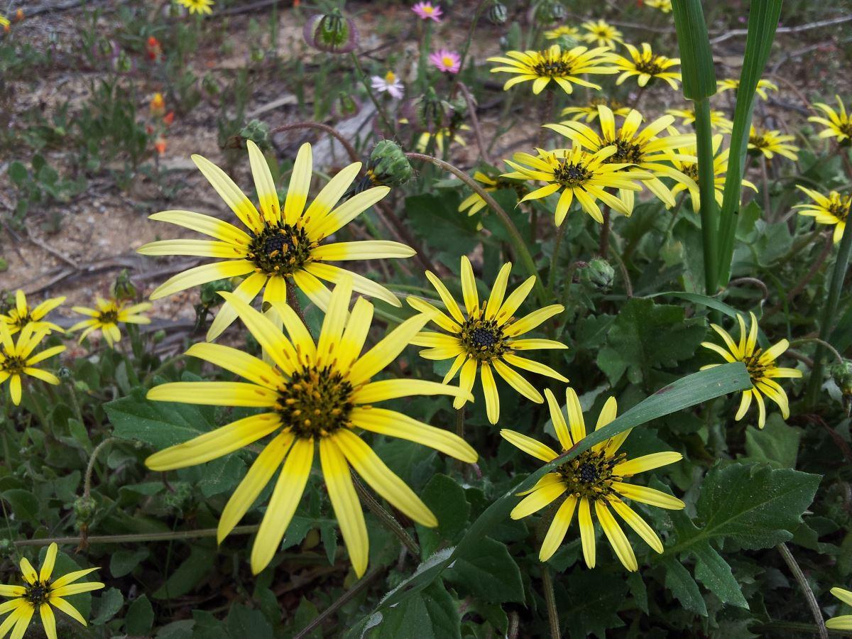 Wildflowers, Western Australia.